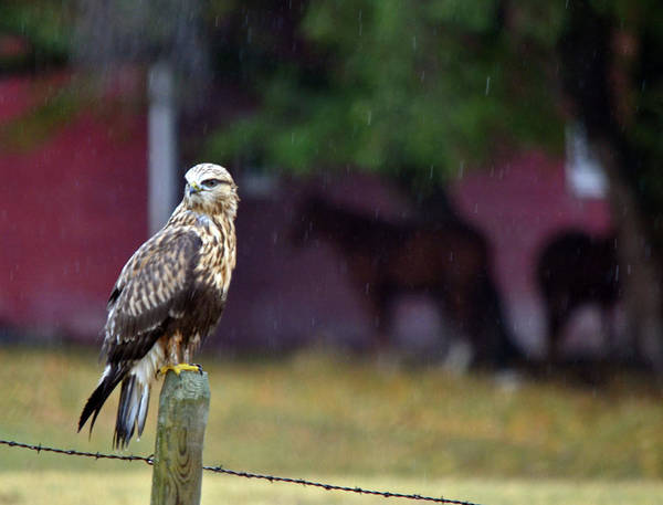 Wall Art - Photograph - Rough Legged Hawk by Whispering Peaks Photography