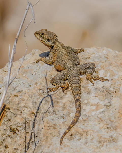 Wall Art - Photograph - Roughtail Rock Agama by Morris Finkelstein