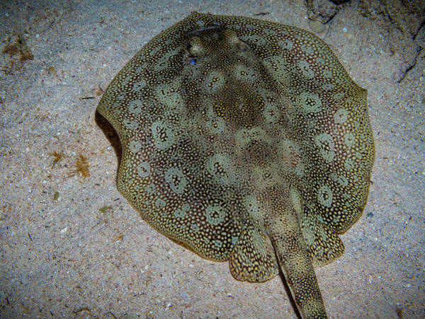 Photograph - Round Spotted Stingray by Jean Noren
