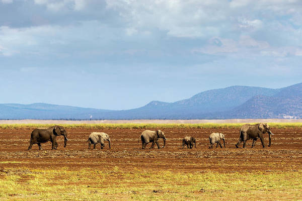 Wall Art - Photograph - Row Of Elephants Walking In Dried Lake by Susan Schmitz