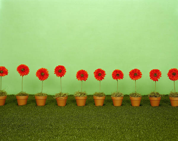 Wall Art - Photograph - Row Of  Potted Gerbera Daisies Gerbera by Debra Mcclinton