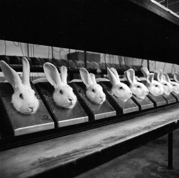 Cage Photograph - Row Of Rabbits by Sherman