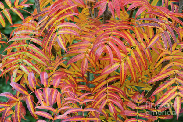 Photograph - Rowan Olympic Flame Foliage by Tim Gainey