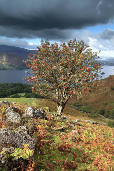 Rowan Photograph - Rowan Tree  Ashness Fell, Lake District by Dave Porter Peterborough Uk