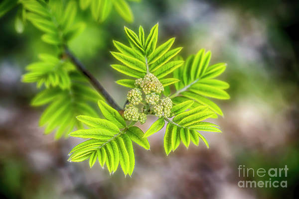 Wall Art - Photograph - Rowan by Veikko Suikkanen