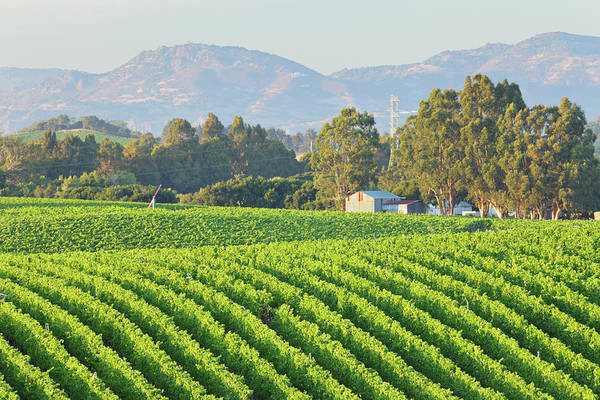 Napa Valley Photograph - Rows Of A Vineyard Landscape In Bright by S. Greg Panosian