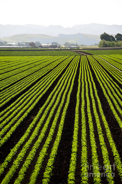 Wall Art - Photograph - Rows Of Freshly Planted Lettuce In The by Dwight Smith