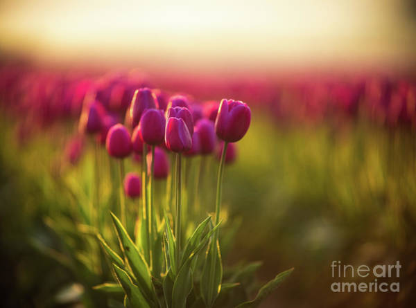 Wall Art - Photograph - Rows Of Magenta Painterly Tulips by Mike Reid