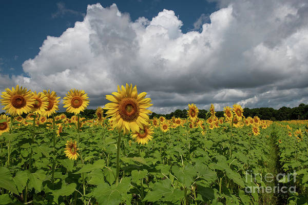 Photograph - Rows Of Sunshine - Sunflower Field by Dale Powell