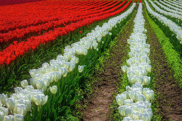 Wall Art - Photograph - Rows Of White And Red Tulips by Garry Gay