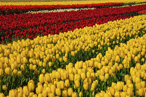 Wall Art - Photograph - Rows Of Yellow And Red Tulips by Garry Gay