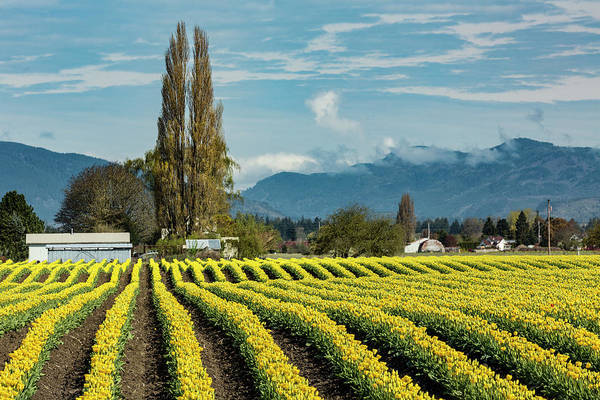 Wall Art - Photograph - Rows Of Yellow Tulips, Skagit Valley by Adam Jones