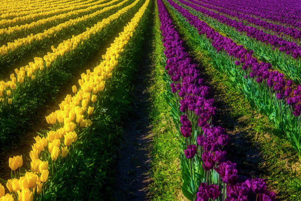 Wall Art - Photograph - Rows Of Yelow And Purple Tulips by Garry Gay