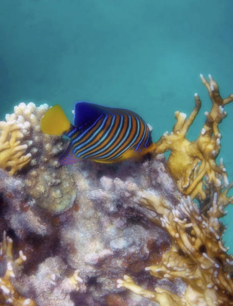 Photograph - Royal Angelfish Among Red Sea Corals by Johanna Hurmerinta