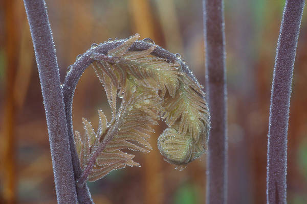 Wall Art - Photograph - Royal Fern by Gail Jankus
