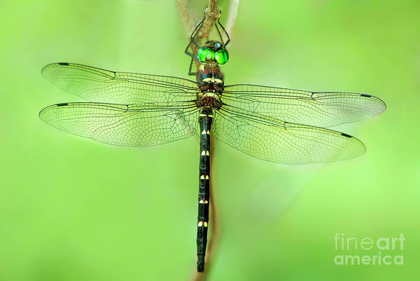 Photograph - Royal River Cruiser Dragonfly Macromia Taeniolata Wild by Dave Welling