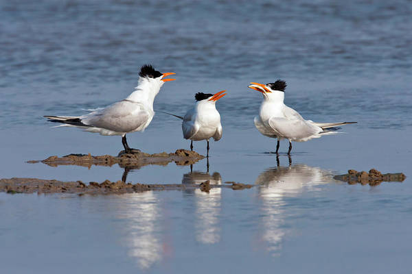 Birds Of Texas Photograph - Royal Tern Sterna Maxima Courting In by Danita Delimont