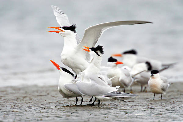 Birds Of Texas Photograph - Royal Tern Sterna Maxima Courtship by Danita Delimont
