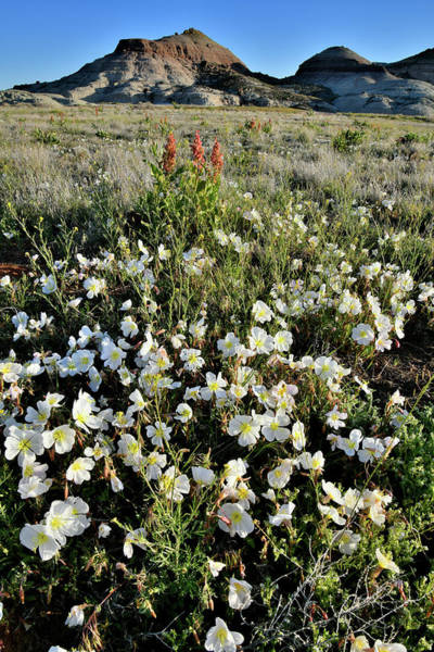 Photograph - Ruby Mountain Desert Roses by Ray Mathis