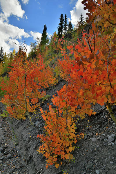 Photograph - Ruby Red Aspens Along Million Dollar Highway by Ray Mathis