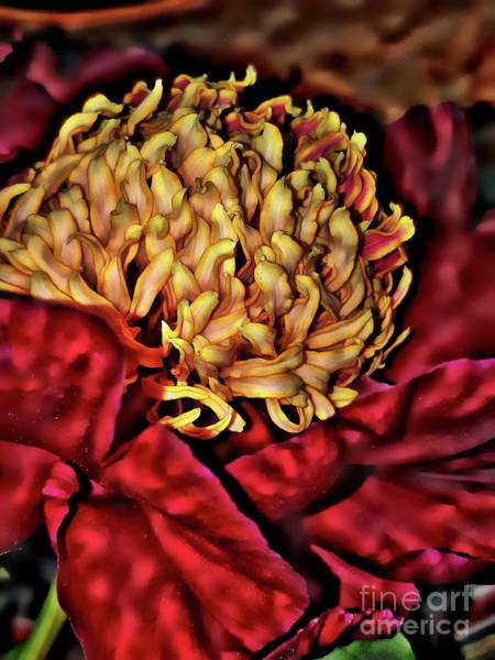 Photograph - Ruby Red Peony by Jolanta Anna Karolska