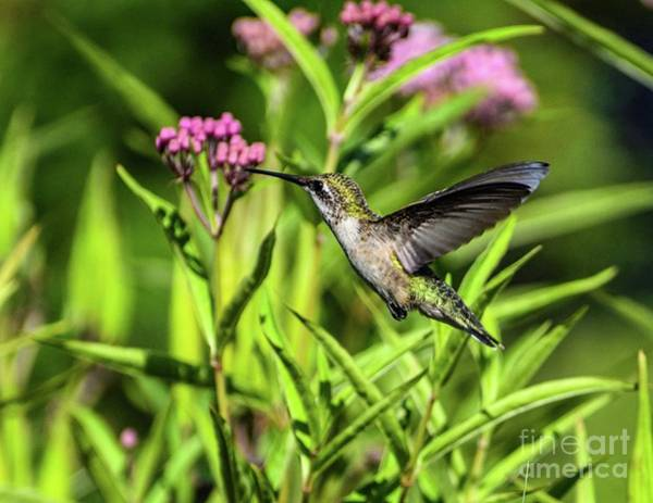 Wall Art - Photograph - Ruby-throataed Hummingbird Zipping Through The Flowers by Cindy Treger