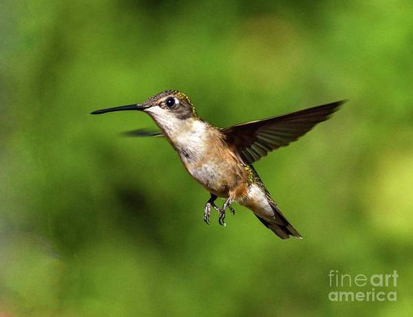 Wall Art - Photograph - Ruby-throated Hummingbird A Flying Wonder by Cindy Treger