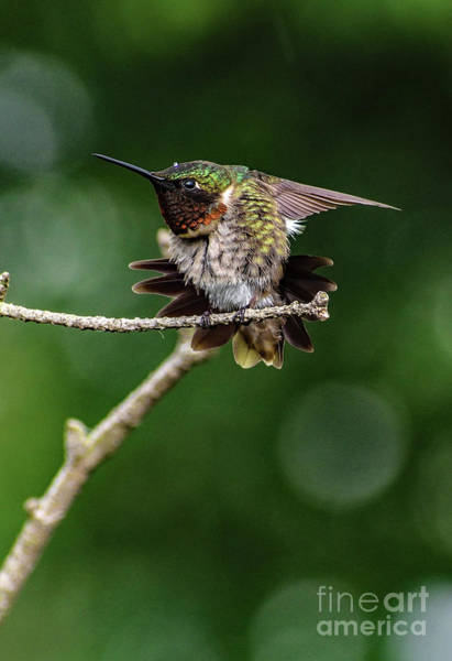 Wall Art - Photograph - Ruby-throated Hummingbird And The Lone Raindrop by Cindy Treger