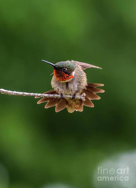 Wall Art - Photograph - Ruby-throated Hummingbird Behavior by Cindy Treger