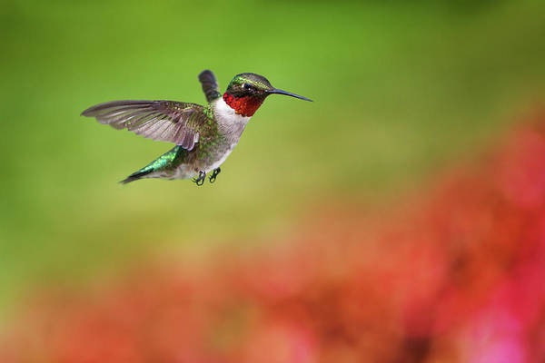 Awe Photograph - Ruby Throated Hummingbird by Cglade