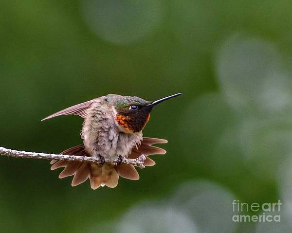 Wall Art - Photograph - Ruby-throated Hummingbird Flexing by Cindy Treger