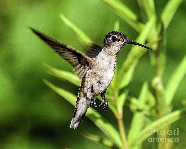 Wall Art - Photograph - Ruby-throated Hummingbird Hovering In Midair by Cindy Treger