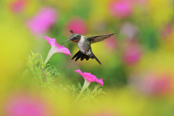Wall Art - Photograph - Ruby-throated Hummingbird, Male In Flight Feeding, Texas, Usa by Rolf Nussbaumer / Naturepl.com