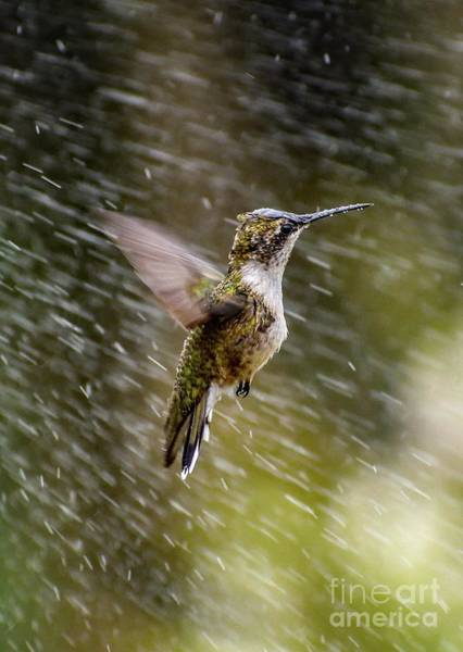 Wall Art - Photograph - Ruby-throated Hummingbird Playing In The Sprinkler by Cindy Treger