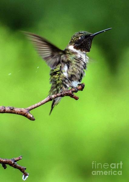 Wall Art - Photograph - Ruby-throated Hummingbird Shaking Off The Raindrops by Cindy Treger