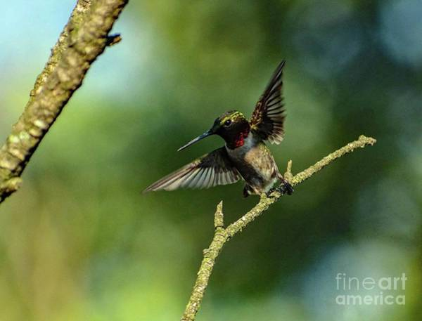 Wall Art - Photograph - Ruby-throated Hummingbird Spreading His Wings by Cindy Treger