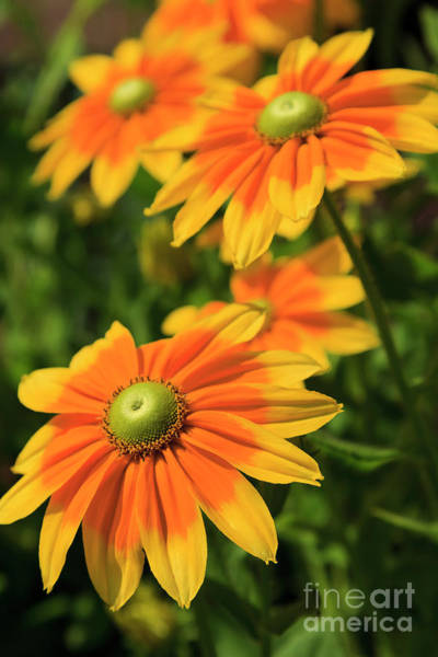 Photograph - Rudbeckia Flowers by Jill Lang