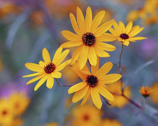 Georgia Photograph - Rudbeckia Flowers by Natalia Ganelin