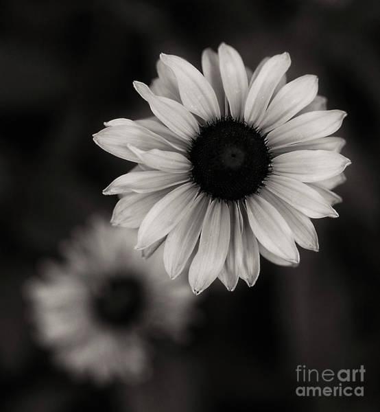 Photograph - Rudbeckia Gloriosa  by Ann Jacobson