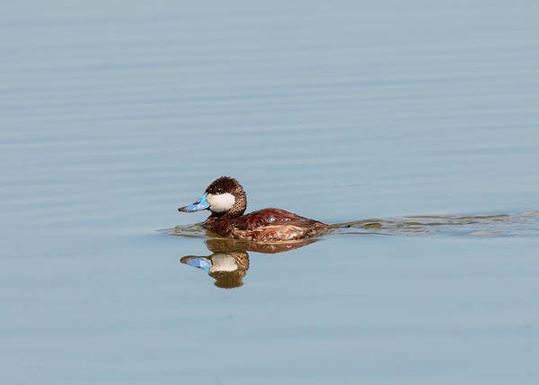 Photograph - Ruddy Duck In Breeding Color by Loree Johnson