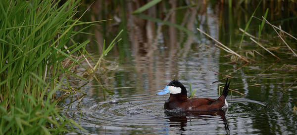 Wall Art - Photograph - Ruddy Duck- Male by Whispering Peaks Photography