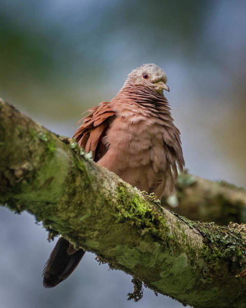 Photograph - Ruddy Ground Dove San Jorge Ibague Colombia by Adam Rainoff