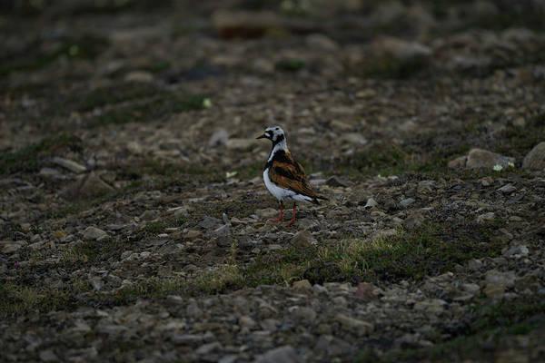 Photograph - Ruddy Turnstone Bird On Svalbard by Kai Mueller