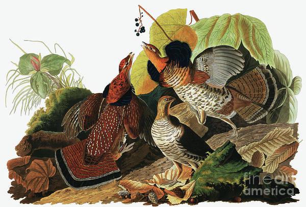 Fowl Painting - Ruffed Grouse, Tetrao Umbellus By Audubon by John James Audubon