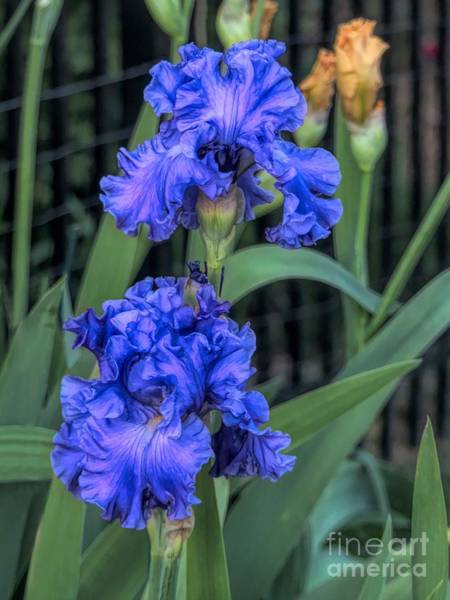 Digital Art - Ruffled Blue Iris Duo by Amy Dundon