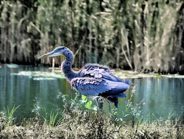 Wall Art - Photograph - Ruffled Feathers ...great Blue Heron by Elaine Manley