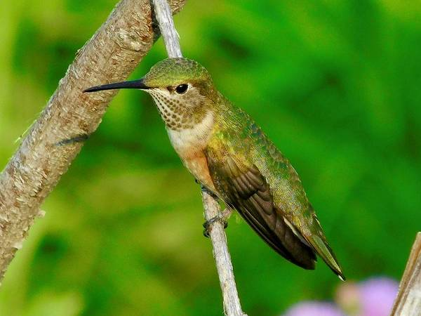 Photograph - Rufous Hummingbird by Dan Miller