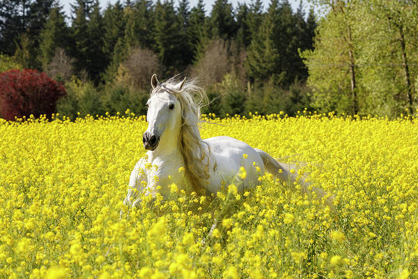Photograph - Running Free In Yellow by Wes and Dotty Weber