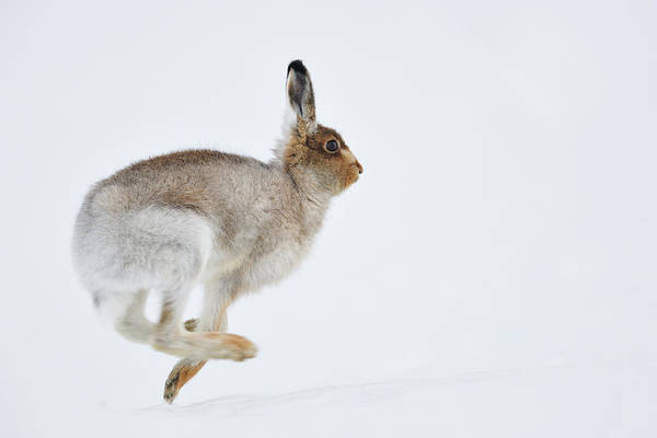 Jumping Photograph - Running Mountain Hare Lepus Timidus by Yves Adams