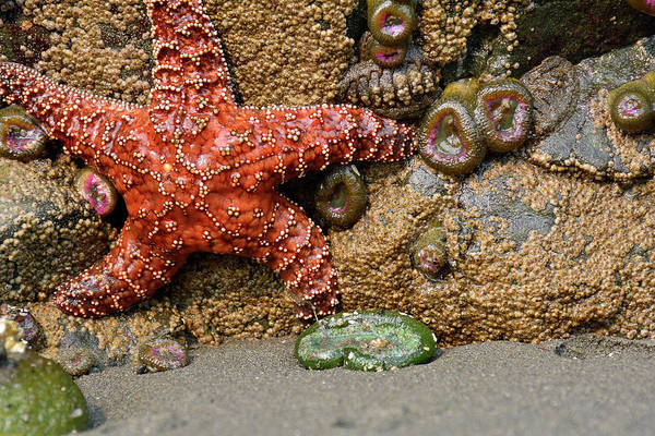 Photograph - Running Starfish In Olympic National Park by Bruce Gourley
